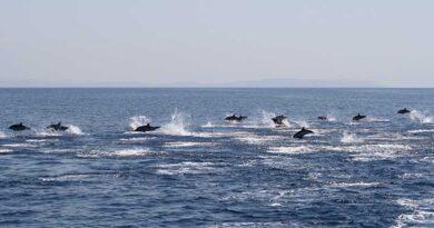 Delfini sempre più presenti, ecco come comportarsi